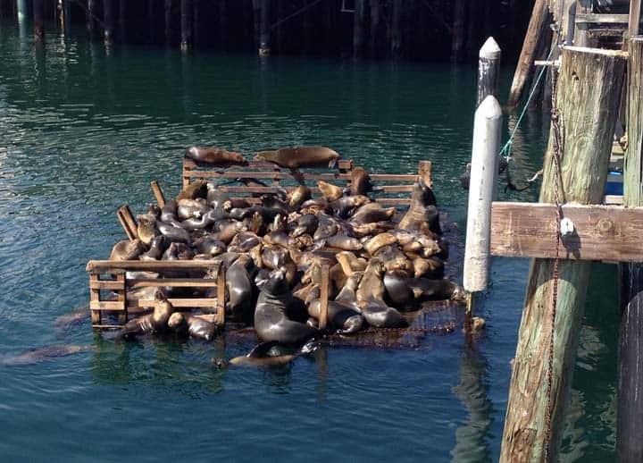 Monterey_Seals