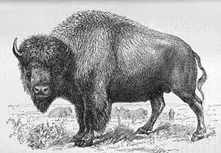 BuffaloImage
