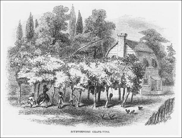 Scuppernong Grape Arbor1859